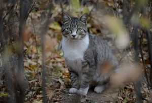 Feral tabby cat in the woods.