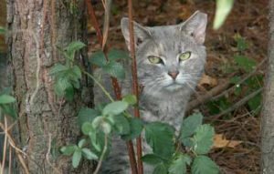 Feral cat with an eartip in the woods.